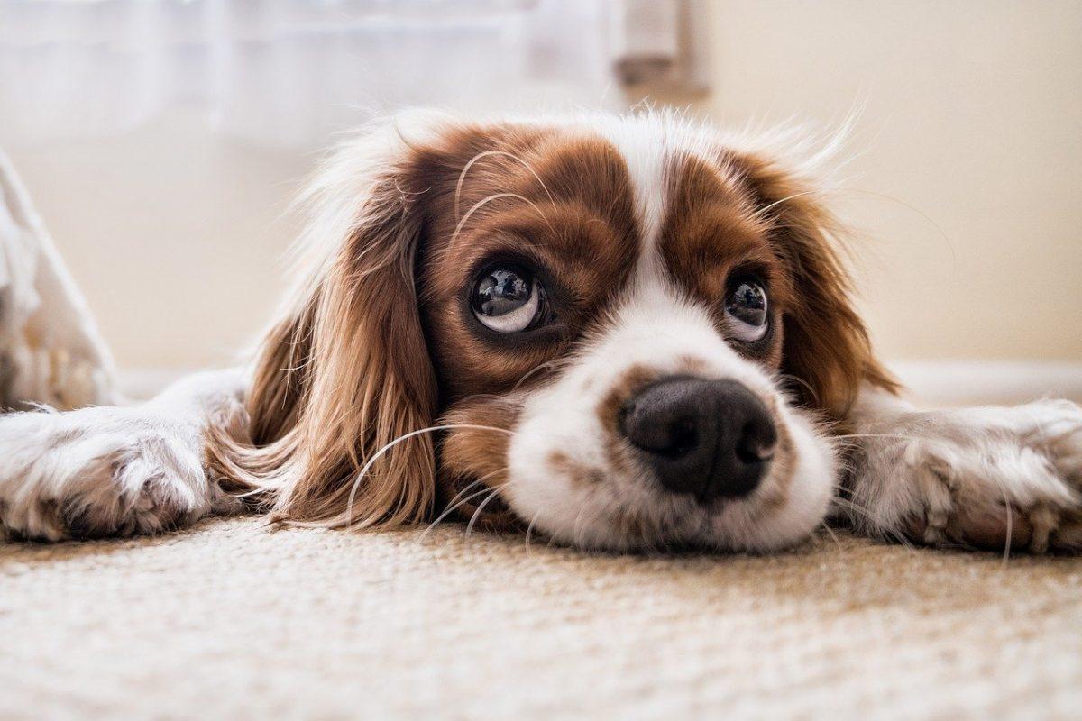 dog, sad, waiting